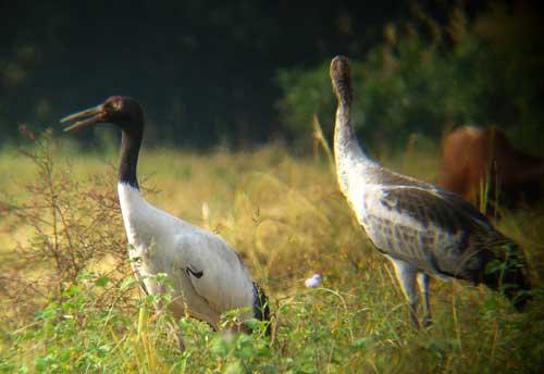 Black-necked cranes in Gelephu