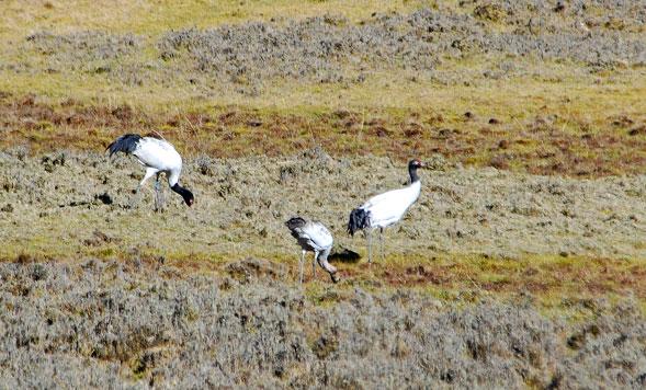 banded cranes 2011