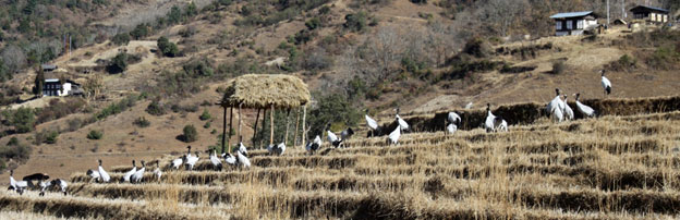 cranes bayling 2012