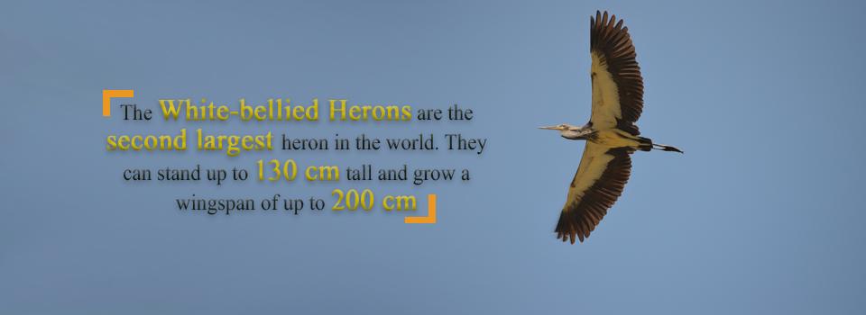 White-bellied-Heron